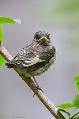 This IS my happy face! (Suvi Heinonen) Tags: flycatcher chick million birdhouse branch cute small