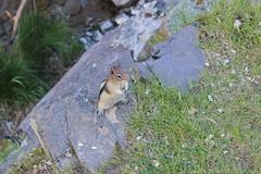 IMG_4582 (docguy) Tags: canada wildlife chipmunk alberta watertonnationalpark albertacanada watertonpark