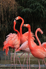 IMG_0782 (MUMU.09) Tags: bird rose photo foto flamingo aves ave bild fugl oiseau flaming flamenco  vogel imagem  uccello  ku chim ptak fgel   flamant     fenicottero  madr    an      plamek  hng      canoneos550d canoneosrebelt2i tkklistar  hac