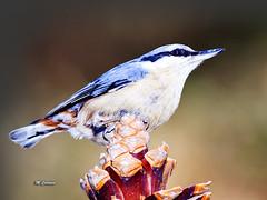 MIG_3241 (Miguel Tavares Cardoso) Tags: portugal azul ngc aves sittaeuropaea 2012 trepadeira trepadeiraazul colorphotoaward natureandpeopleinnature onlythebestofnature migueltavarescardoso