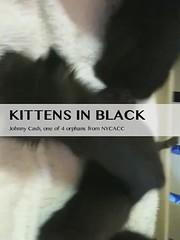 Johnny Cash, kitten in black (lisacat) Tags: rescue kitten orphan williamsburg johnnycash statenisland greenpoint adoption neonate nycacc bottlebabies northbrooklyncats