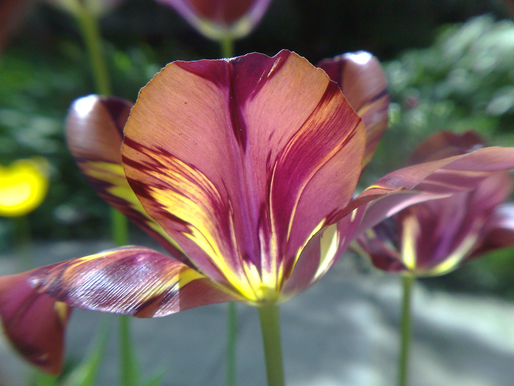 The World's Best Photos of lalea and tulips - Flickr Hive Mind