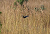 IMG_7137L4 (Sharad Medhavi) Tags: bird canoneod50d birdsandbeesoflakeshorehomes