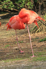 IMG_0704 (MUMU.09) Tags: bird rose photo foto flamingo aves ave bild fugl oiseau flaming flamenco  vogel imagem  uccello  ku chim ptak fgel   flamant     fenicottero  madr    an      plamek  hng      canoneos550d canoneosrebelt2i tkklistar  hac