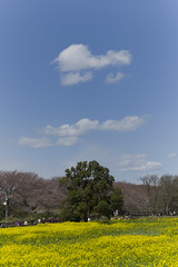 contrast of spring (fukui_norisuke) Tags: leica sky cloud flower japan sakura saitama m9 rapeblossoms gongendo leicam9  aposummicronm75mmf2asph