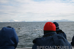 A couple of humpback whales waving their tails (Special Tours) Tags: reykjavk humpbackwhale whalewatching faxafli specialtours