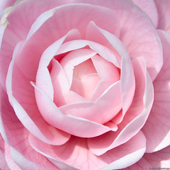 Camelia close up (Blemo) Tags: pink flowers flower colour macro nature japan closeup japanese petals spring nikon blossom petal edge micro handheld  edgy yokkaichi  d7000