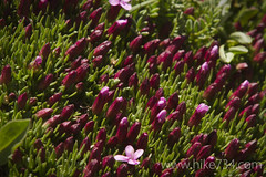 """Moss Campion • <a style=""""font-size:0.8em;"""" href=""""https://www.flickr.com/photos/63501323@N07/7107789165/"""" target=""""_blank"""">View on Flickr</a>"""
