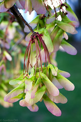Spring Seeds (GRO Photography) Tags: life new pink green spring maple seeds helicopter plenty