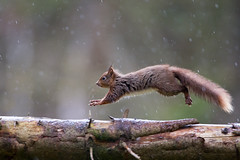 Dancing in the Rain (Oliver C Wright) Tags: red rain log squirrel yorkshire running