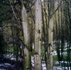 III (Benjamin Postlewait) Tags: trees snow cold green 120 tlr film oregon centraloregon forest mediumformat spring woods bend grove pacificnorthwest mxs portra160 minoltaautocord