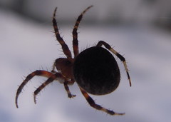 Anti-Grav (clyde7995) Tags: animals closeup insect spider statenisland ringexcellence