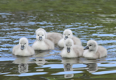 Water Babies (alison brown 35) Tags: uk wild nature water birds canon spring dam wildlife ngc may 300mm swans npc 7d mute f28 sthelens cygnets 2012 14x carrmill sigmaex