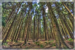 Coniferous Forest (Der Michl) Tags: trees fern nature forest wald bume hdr farn coniferous fichten spruces photomatix nadelwald tonemapped borderfx