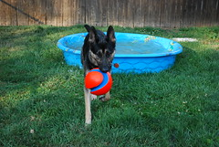 DSC_6309 (aerofan245) Tags: birthday dog 3 dark shepherd sage german batman knight batdog gsd