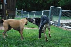 DSC_6374 (aerofan245) Tags: birthday party dog 3 shepherd sage german superhero batman batdog gsd