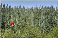 Amapola en el trigal / Poppy in the wheatfield (Juan R. Martos) Tags: red verde green field landscape rojo wheat poppy campo trigo wheatfield amapola trigal