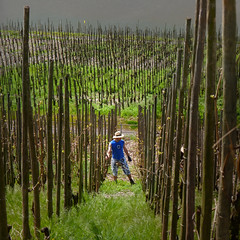 The last stems of Riesling grapes are tied to the vines (Bn) Tags: blue sky panorama horse mountain nature water ecology river germany landscape geotagged deutschland shoe vineyard spring vines topf50 scenery wolf village wine path panoramic vineyards crop grapes stems vista environment buds worker crops farmer agriculture curved viewpoint uturn environmentalism grape mosel riesling ecosystem rheinlandpfalz slopes moselle vinyards krv agronomy moesel rhinelandpalatinate krov 50faves winegrowing vinyeards fruitcrops panview geo:lon=7108154 wijnleerpad geo:lat=49985973