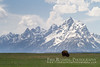 Bison Beneath the Grand Teton (Free Roaming Photography) Tags: usa cloud mountain snow mountains west grass animal clouds mammal nationalpark spring buffalo alone cloudy wildlife western lone northamerica wyoming teton tetons bison grassland moran solitary grandteton jacksonhole vast grandtetonnationalpark elkranchflats