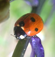 """Ladybird(1)(1)(1)(1) • <a style=""""font-size:0.8em;"""" href=""""http://www.flickr.com/photos/57024565@N00/7288330794/"""" target=""""_blank"""">View on Flickr</a>"""