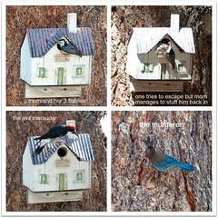 a sad story (♥beryl) Tags: tree nature birds square woodpecker nest birdhouse bluejay story quadtych naturalselection survivalofthefittest killorbekilled picframe nuthatcher wrightwoodcalifornia