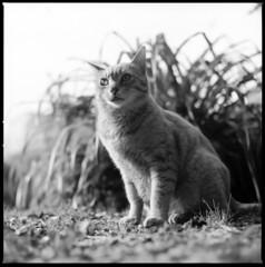 (ichigonotsukikage) Tags: bw monochrome cat fuji hasselblad 500c f28 acros 80mm nont proxar 11100 pyrocathd 19min f05m