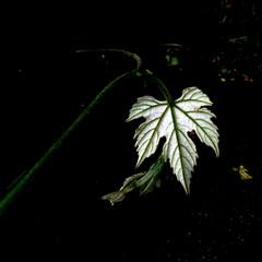the shining (overthemoon) Tags: green dark square schweiz switzerland leaf suisse path vine underside veins svizzera shining vevey vaud romandie 52weeks thursdaywalk 222012 utata:project=tw319