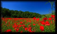 Distesa di papaveri nelle 'crete senesi' (Alessandro Zaccari) Tags: red italy flower italia natura tuscany siena toscana fiore rosso cretesenesi papavero ef1740 eos5dmarkii