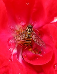 hover on red, shot on fuji hs 20 camera (STITCH100) Tags: camera flowers light plants plant flower colour water beautiful up rose gardens garden lens fly big perfect colours fuji close with view shot image very shots room great views stunning marco 20 bit 250 hs hover hs20 raynox littie