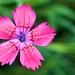 'Wild' Flower