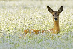 Roe Deer in Flower Field (GreenDreamsPhotography) Tags: summer flower zomer roedeer bloem ree westerheide wilderadijs