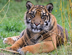 Sumatran Tiger 5 (Funky Foxy) Tags: tiger sumatrantiger pantheratigrissumatrae endangeredbigcats