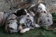 Dog pile (The Crowded Planet) Tags: travel italy mountains alps trek puppy walking cai babydogs clubalpinoitaliano