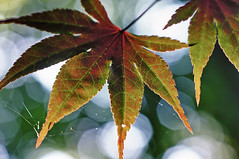 Japanese maple leaf (loco's photos) Tags: macro tree nature leaves outdoors spider leaf dof pentax bokeh web bubbles depthoffield japanesemaple kr panagor9028