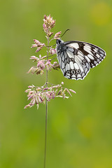 Papillon demi-deuil / Butterfly Marbled White (Melanargia galathea) (bEOSien87) Tags: flower macro nature fleur grass animal canon butterfly insect french eos wildlife sigma papillon franais insecte herbe plantain extender kenko melanargiagalathea marbledwhite sigma105mm demideuil 550d sigma105mmf28exdg kenko14 rebelt2i kissx4 kenkopro300dgx chiquiercommun argegalathe