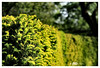 The thriving hedge - Explored :) (La_Marghe) Tags: canon spring hedge blossoming blooming thriving palegreen yabbadabbadoo newbuds canonefs18200mmf3556is eos550d