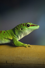 Green day gecko (Rene Mensen) Tags: green nikon day rene gecko emmen mensen dierentuin noorder dierenpark greendaygecko d5100 mygearandme mygearandmepremium mygearandmebronze mygearandmesilver mygearandmegold mygearandmeplatinum mygearandmediamond