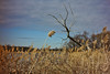 Dead tree, sky and reeds