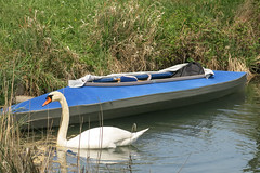 Schmerikon (qitsuk) Tags: lake reed schweiz switzerland swan kayak kayaking zürichsee sanktgallen obersee lakezurich klepper linth schmerikon foldingkayak tuggen linthkanal obererzürichsee