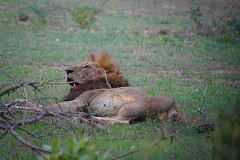 Suedafrika-17 (Lukas P Schmidt) Tags: nationalpark lion krugerpark lwe