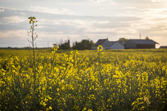 Rapeseed (davy.mart) Tags: cereal beauce rapeseed colza crales