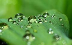 Water pearls (gabrielegalloni) Tags: macro verde primavera nature spring emotion sweet bokeh feel may natura 11 foglia acqua rugiada perle maggio gocce delicatezza
