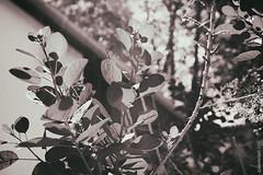 Untitled (thedot_ru) Tags: california ca blackandwhite bw usa leaves cali monotone socal canon5d ventura 2015 socali