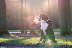Charlie_10012016(17) (melodyide) Tags: light dog natural gorgeous bernesemountaindog bernese magiclight