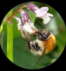 Redtailed Bumble Bee on Wild Flower (Maryjo25) Tags: bee redtailed bumble