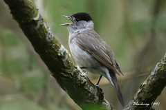 BLACKCAP (M) / STODMARSH / KENT / U.K (Tom Webzell) Tags: naturethroughthelens