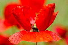 Poppy field (hjuengst) Tags: flower green spain bokeh urlaub blumen poppy poppies grn mallorca spanien majorca papaveraceae mohnblume papaverrhoeas mohnfeld redrossorougerood