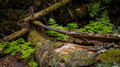 Split (Suho_Ja) Tags: tree trunk fallen nature moss green woods forest ferns wood naturephotography olympus m43 mossy old contrast decomposing perspective gorund