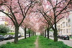 Alley (Nuuttipukki) Tags: berlin germany schneberg spring alley explore allee kirschblten