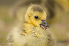 So cute 710_9593.jpg (Mobile Lynn) Tags: wild england bird nature birds fauna geese unitedkingdom wildlife ngc lakes goose npc gosling waterfowl ponds canadagoose canadageese freshwater estuaries marshes lagoons webbedfeet anseriformes fritham coth greatphotographers specanimal coth5 sunrays5